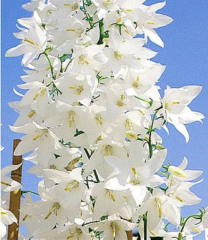"Winterharte Solidora® ""Weiße Carmen"",1 Pfl. Campanula pyramidalis"