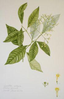 Helena Ignowski: Ilustração Botânica