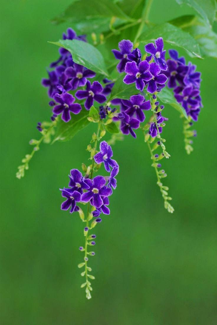 Shrubs with purple flowers pictures - Flowersgardenlove Purple By Hale Ye Beautiful Gorgeous Pretty Flowers