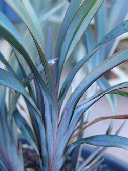 Dianella Blue Twist - Ozbreed Landscape Gardening Plants