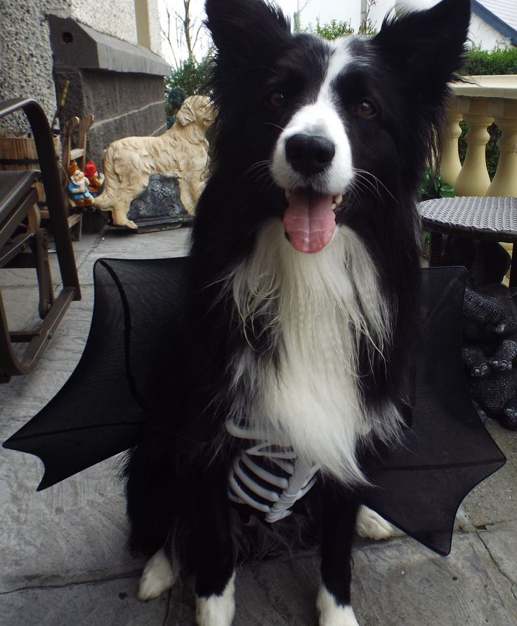Not So Scary Halloween Border Collie Asha