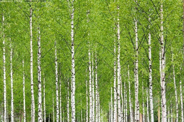 Koivikko vihertää - koivikko koivut puu metsä rungot kevät raikas raikkaus puhtaus luonto metsämaisema maisema toukokuu vihreä vihertää veh...