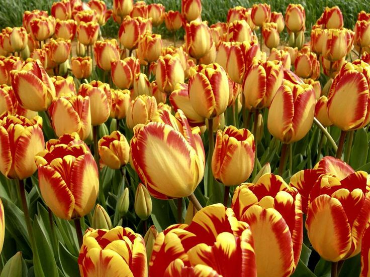 tulips | flowers for flower lovers.: Red yellow tulips flowers pictures.