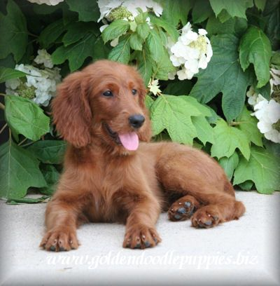 Irish Setter Golden Retriever Mix Google Search Golden