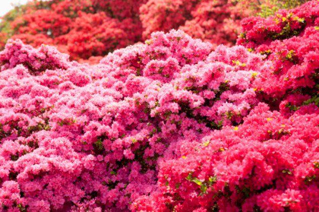 Do Azaleas Bloom All Summer Hunker Flowering Bushes Bloom Shade Perennials