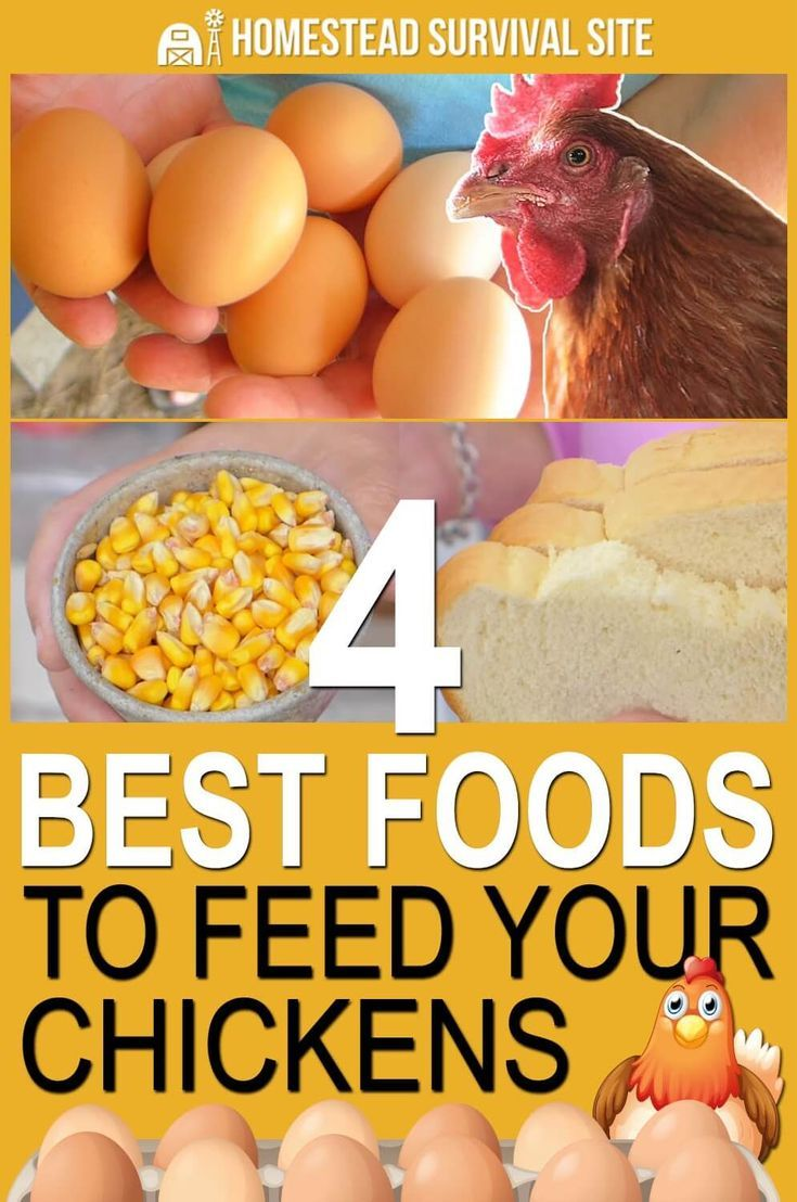4 Things To Feed To Your Chickens So They Lay Eggs Year Round Chickens Protein For Chickens Chickens Backyard
