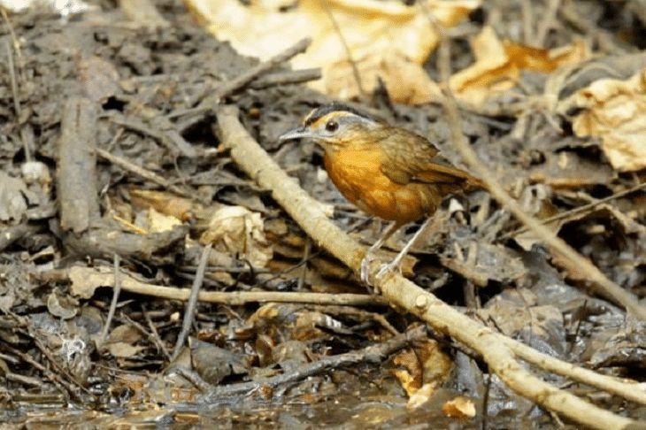 Mengenal Burung Pelanduk Topi Hitam Dengan Suaranya Yang Nyaring Burung Topi Hitam