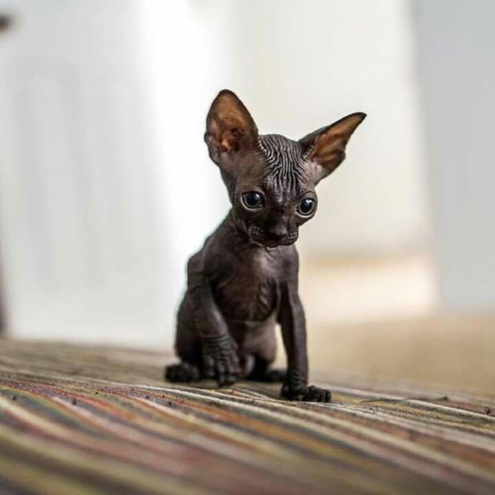 "the ""bat"" cat...so cute! #SphynxCat"