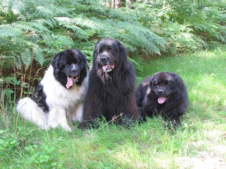 282 Best Images About Newfoundland Dogs On Pinterest