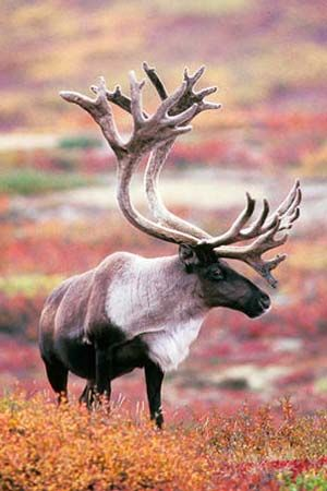 Caribou, wild Reindeer native animal to Alaska and Canada.