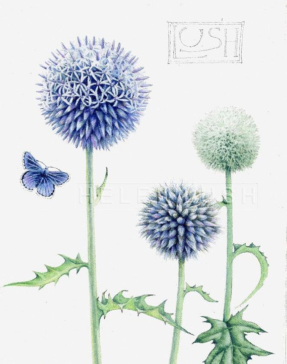 Original watercolour painting of Globe Thistle and Common Blue butterfly.  Botanical art.
