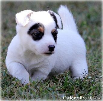 Short Jack Russell Terrier Breeders | Shorty Jack Puppies For Sale