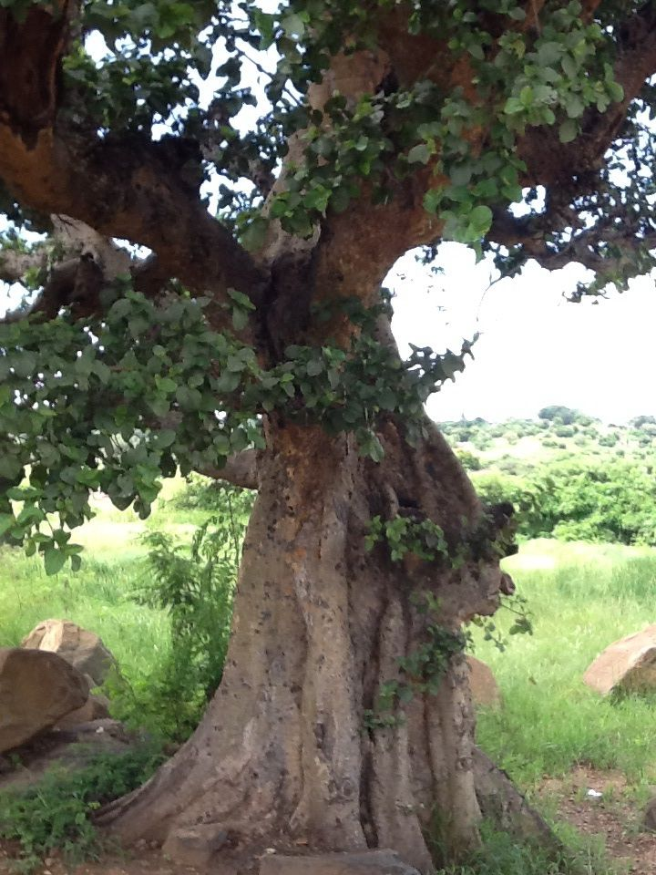 1000 Images About African Trees On Pinterest Madagascar