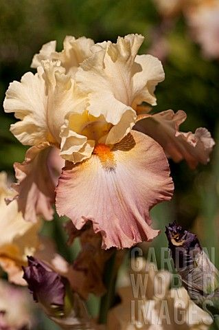 Iris 'High Chaparral' This is the prettiest orchid I've ever seen!