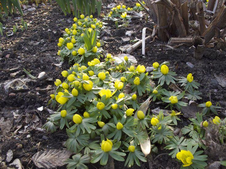 Heute ist es so warm, da kommt Hoffnung auf Frühling auf....  Und die ersten Winterlinge sind auch schon da!