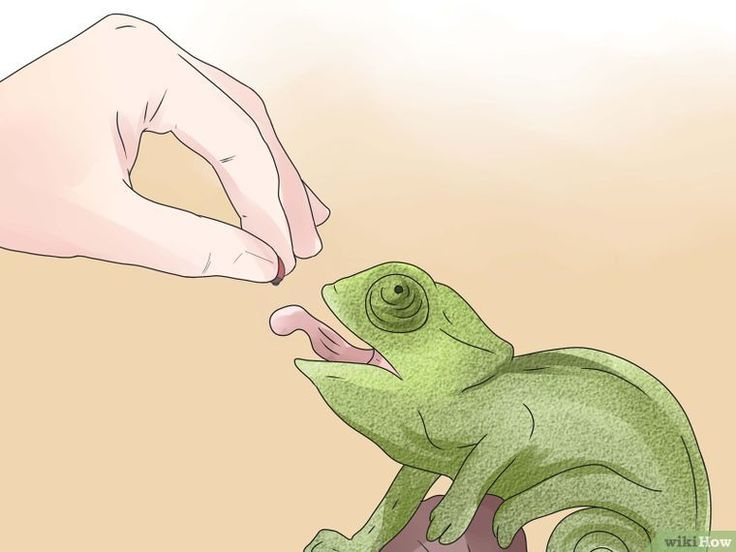 3 Ways to Take Care of a Chameleon - wikiHow