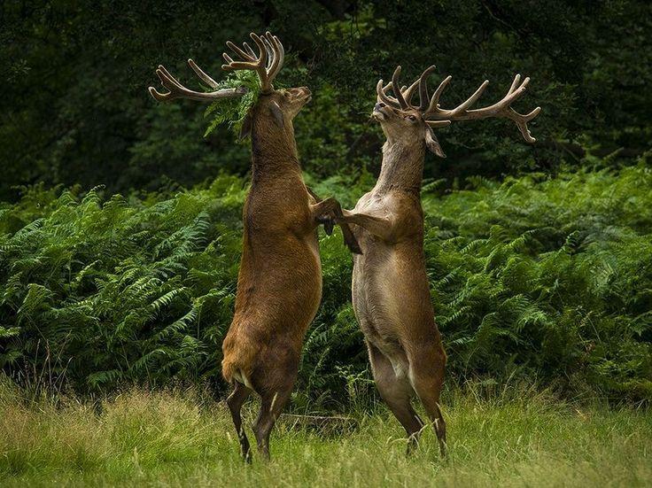 Tai chi red deer