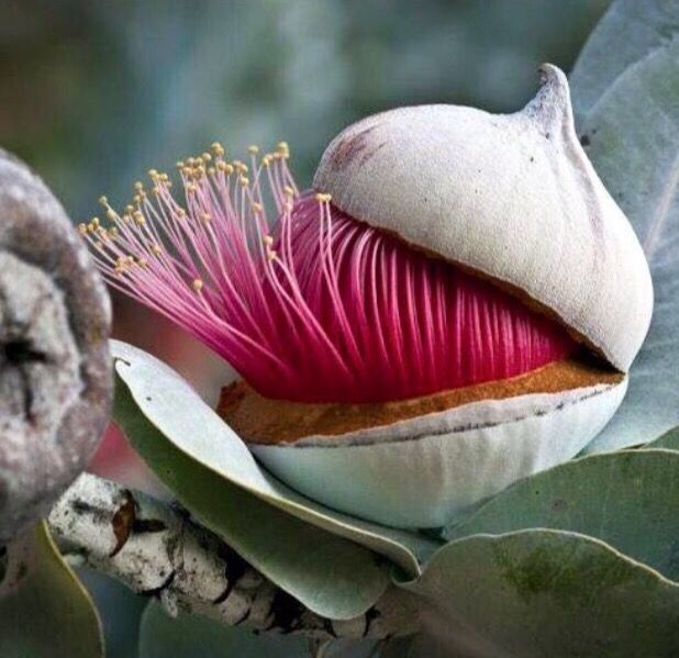 Eucalyptus caesia or Silver Princess is one of my favourite small Australian gums. It's often grown as a feature plant in a garden. It has silver gumnuts.