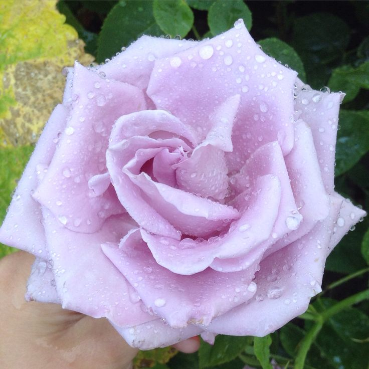 Gorgeous lilac rose
