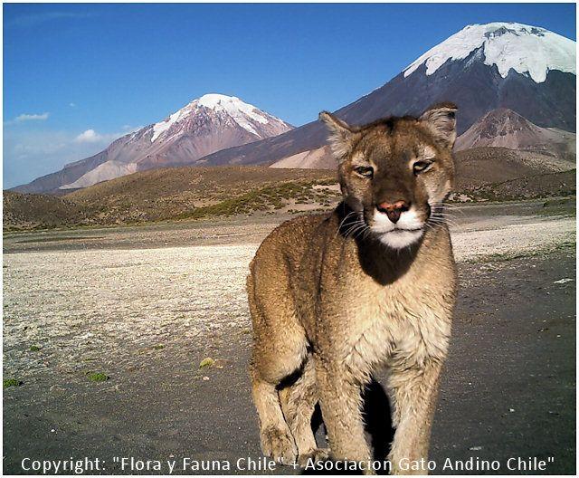 Puma at Lauca Park, Putre, Chile