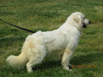 Golden Ret. - Creekwood Acres - Presa Canario for sale in North Carolina,German Shepherd for sale in North Carolina,Golden Retrievers, Well Behaved and Trained Dogs for sale in North Carolina