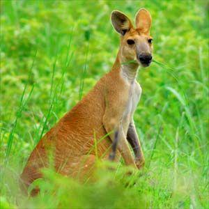 Antilopine Wallaroo (Macropus antilopinus) can be found across northern Australia where they enjoy open woodlands and perennial grasses.