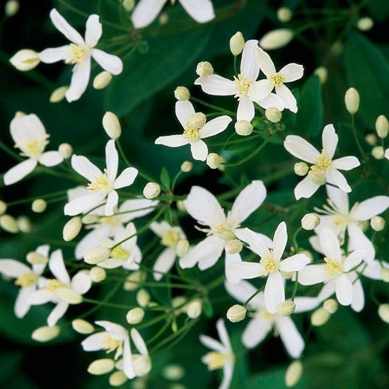 Want to make a big statement at the end of the season? Try sweet autumn clematis. This large vine (it can climb to more than 25 feet once established) literally covers itself in masses of starry white, fragrant flowers. You can smell it from across the yard on warm, sunny days. Name: Clematis ternifolia