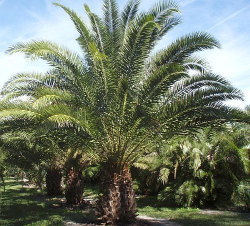 Phoenix reclinata (Wild date palm) - The wild date palm grows naturally from the Eastern Cape extending as far north as Egypt. Its natural habitat is riverbanks and swamps - Google Search
