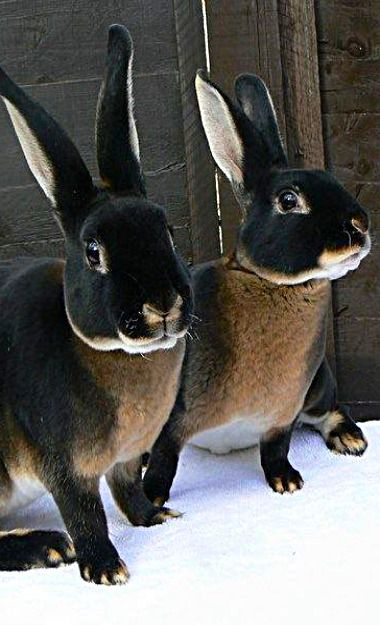 Black Otter Rex Rabbits - Country ♥ Lane