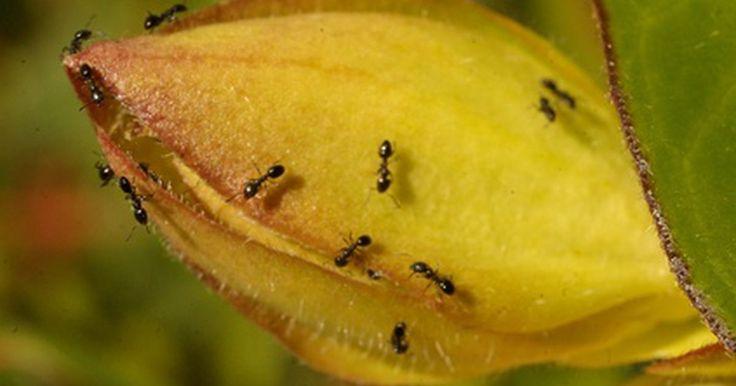 Ciclo de vida de las hormigas negras . Cualquier persona se aterra con la sola mención de hormigas en su casa. Los insectos no representan una amenaza, pero si una sucia molestia. En Reino Unido se les conoce como hormigas negras y en Estados Unidos como carpinteras. Estas hormigas no viven mucho tiempo, pero se reproducen tan seguido que parece que las invasiones a los hogares son ...