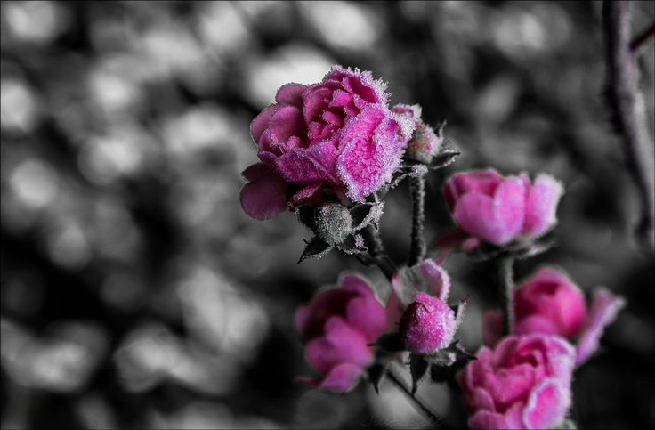 Ice and roses by Just Julie on 500px