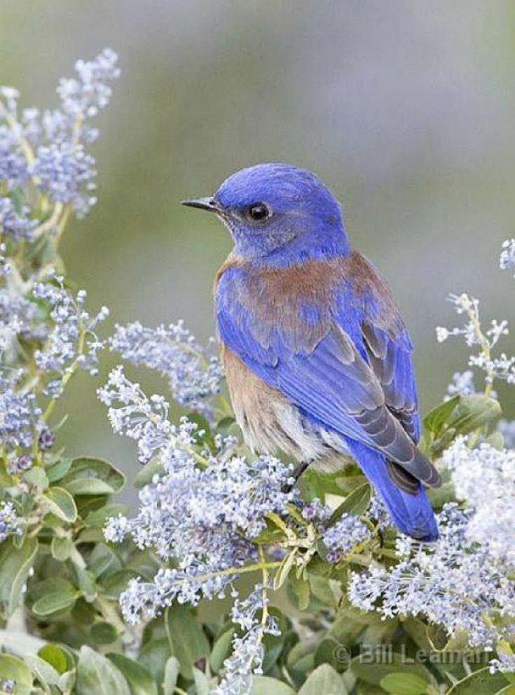 I ❤ birds . . . Western Bluebird, (Ceanothus)
