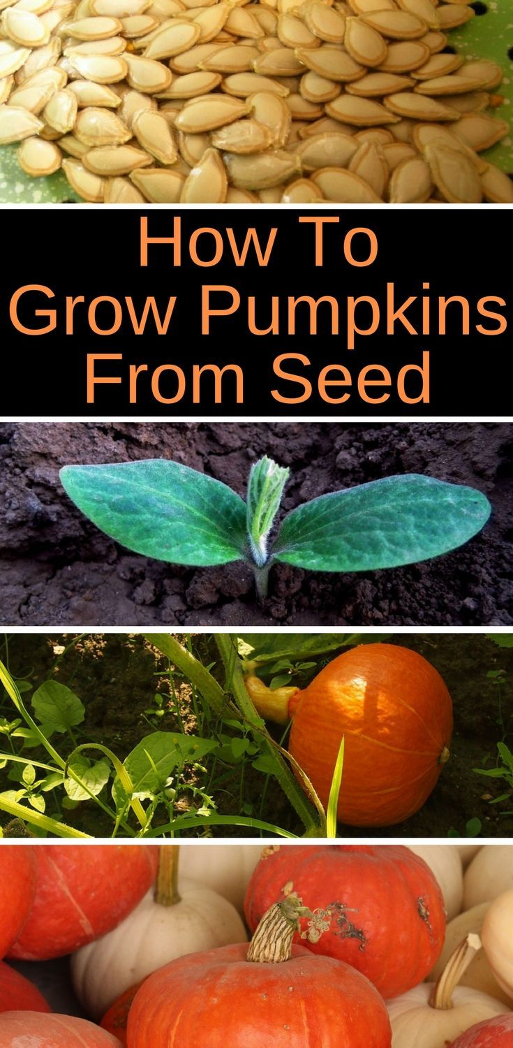Planting Pumpkin Seeds For A Bountiful Harvest Growing Pumpkins Planting Pumpkins Planting Pumpkin Seeds