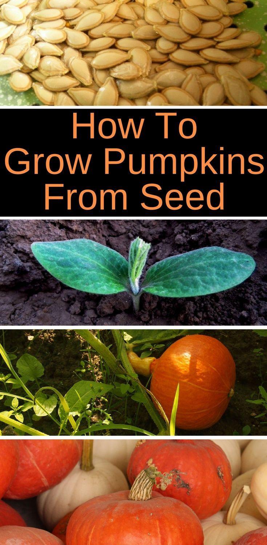 Best 25+ Planting pumpkin seeds ideas on Pinterest | Pumpkin plants, Growing pumpkin seeds and ...