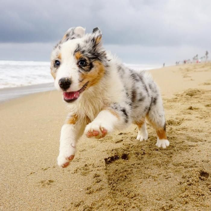Luna The Australian Shepherd Puppy At Huntington Dog Beach