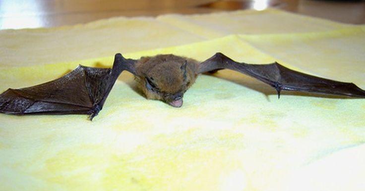Síntomas de rabia en murciélagos. La rabia es una enfermedad grave que ataca el sistema nervioso si no se trata. Si la rabia no se detecta y no se trata, conduce a la muerte inevitable. Los animales más comunes para transmitir la rabia a los seres humanos son los murciélagos. Para tener cuidado, lo mejor es evitar los murciélagos por completo. Sin embargo, si hay una razón por la ...