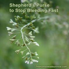Shepherd's Purse to Stop Bleeding Fast Homesteading - The Homestead Survival .Com