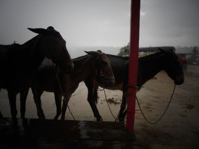 IAP, caracterización biológica. Mulas bajo la lluvia.