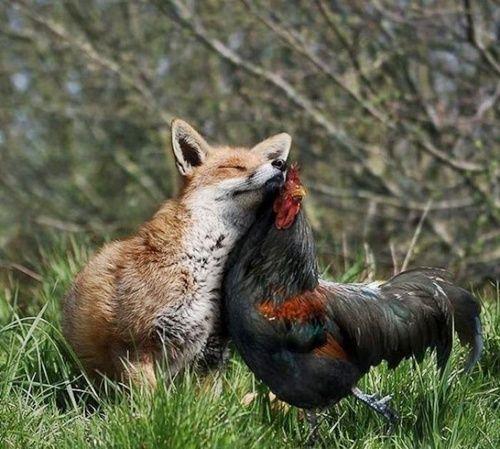 A szerelem vak: róka és kakas szerelme