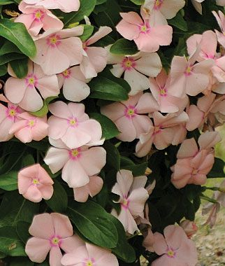 Trailing Vinca: Peach. Annual, full sun, part shade. Indoor sow. Good for ground cover in beds.