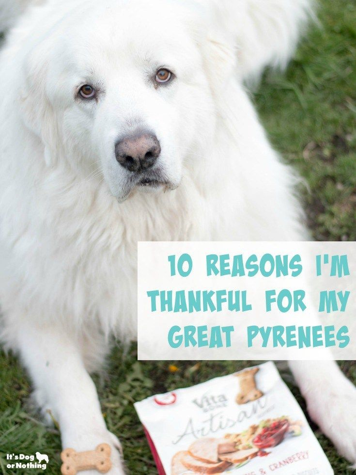 10 Reasons I M Thankful For My Great Pyrenees Giveaway Great