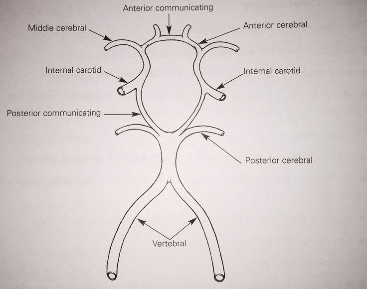 Circle of willis anatomy