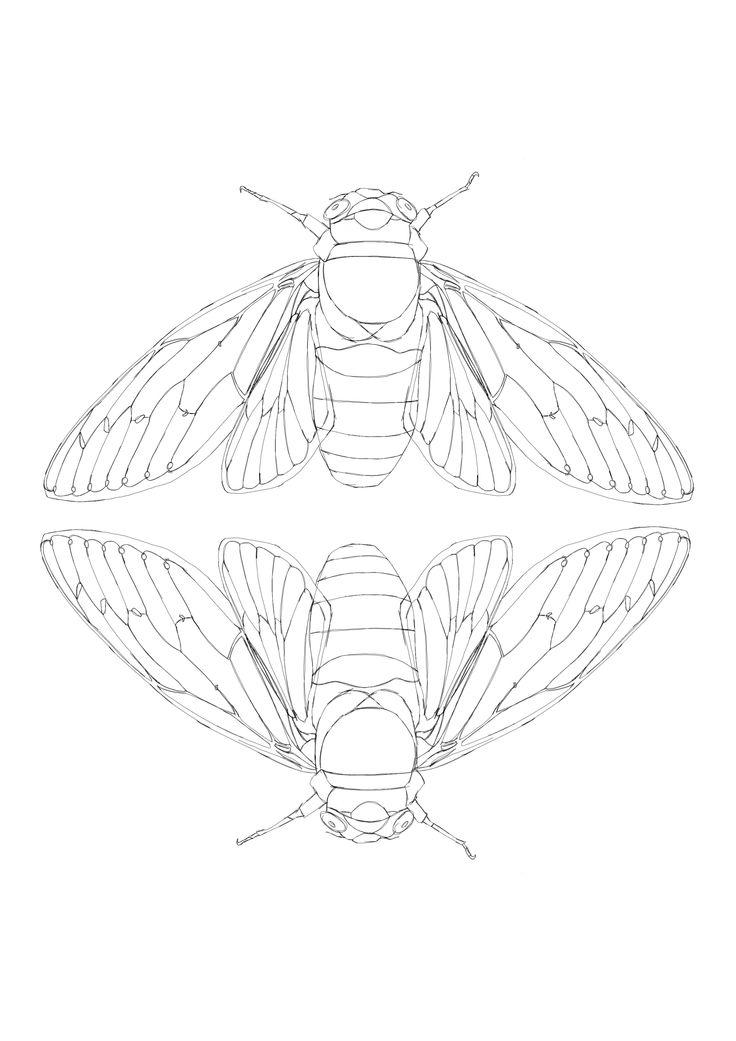 Cicada scientific drawing