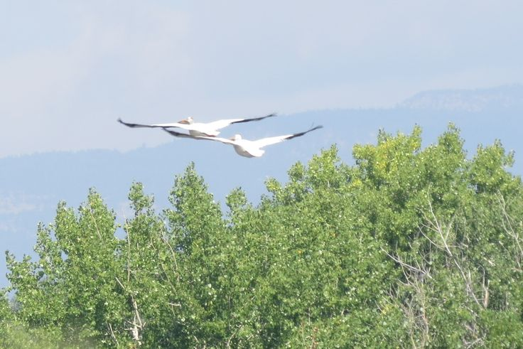 American White Pelican ©Carolyn Beach. Wild Bird Center of Boulder, CO Saturday Morning Bird Walk in Boulder County - August 23, 2014.