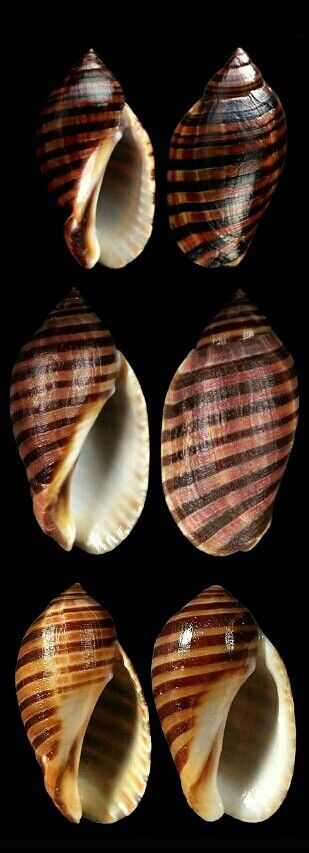 Vexilla vexillum - Vexillate/Ribboned Jopa