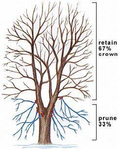 Important Tree Pruning Method #2 - Crown Raising