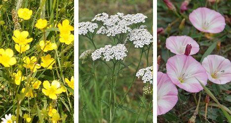 rośliny łąkowe