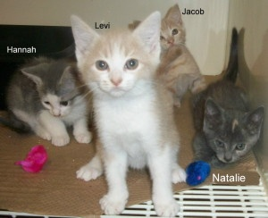 Hannah, Levi, Jacob, Natalie is an adoptable Domestic Short Hair Cat in Elizabethown, NC. These four kittens are full of fun and ready to be your best friend. Kitties make wonderful pets for working p...: Short Hair, Shorts Hair, Wonder Pet, Hair Cat