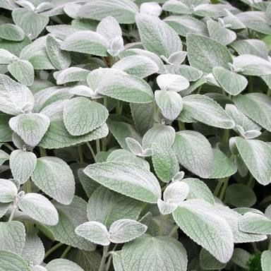 plectranthus argentatus -silver leaf. Grows in partial or full shade. Australian native.