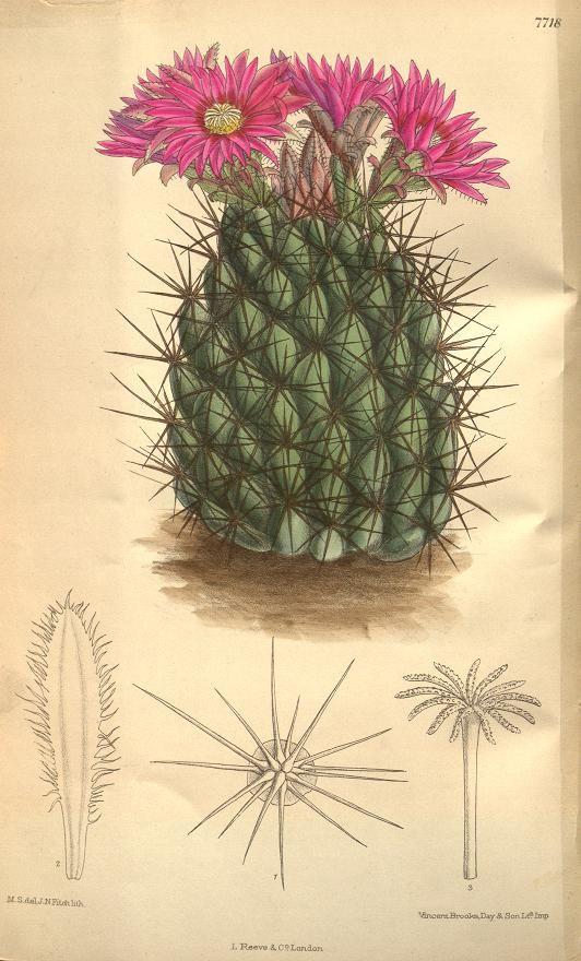 Mamillaria. (Natif des montagnes Rocheuses).V.126 [ser.3: v.56] (1900) - le magazine botanique de Curtis. - Biodiversity Heritage Library